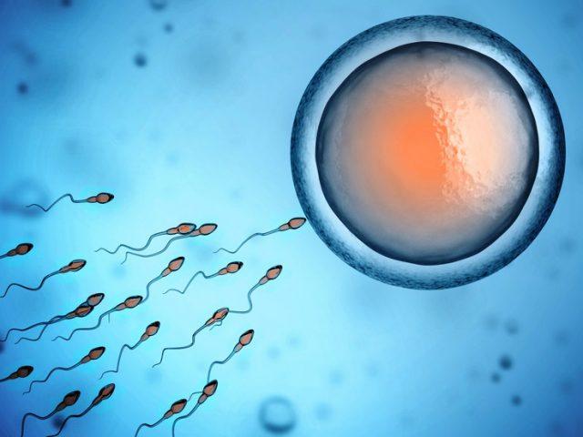 spermatozoi e la cellula uovo al fine del concepimento